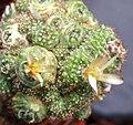 Notocactus sp fma monstrosa.jpg