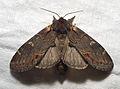 Notodonta dromedarius03.jpg