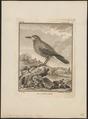 Nucifraga caryocatactes - 1793 - Print - Iconographia Zoologica - Special Collections University of Amsterdam - UBA01 IZ15700167.tif