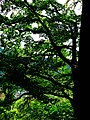 Oak - panoramio (6).jpg