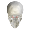 Occipital condyle06.png