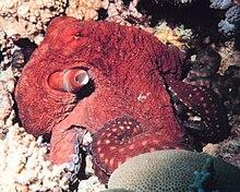 ушастый осьминог википедия