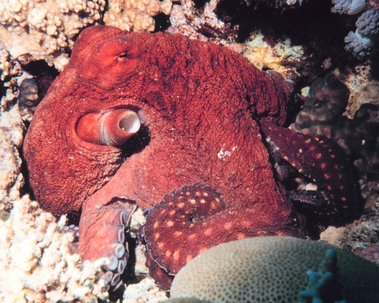 File:Octopus macropus - The Coral Kingdom Collection.jpg