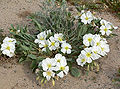 Oenothera deltoides ssp deltoides 3.jpg