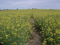Oil Seed Rape on the HOEW - geograph.org.uk - 451196.jpg