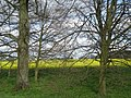 Oilseed Rape beyond the trees - geograph.org.uk - 775394.jpg
