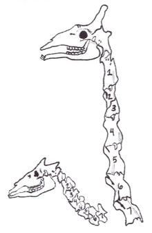 the giraffe right and its close relative the okapi left both have seven cervical vertebrae