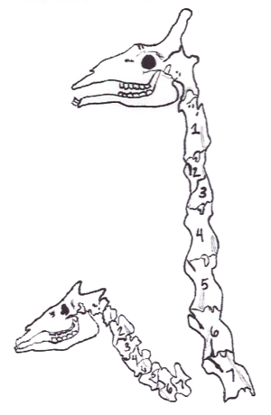 Heterochrony - Despite greatly differing neck lengths,  giraffes (right) have no more cervical vertebrae, just 7, than their fellow giraffids, okapi (left). With the number constrained, the development of the vertebrae is extended, allowing them to grow longer.