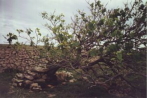 Old fig tree