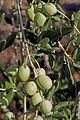 Olives (MOUFLA) CL1. J Weber (23122197366).jpg