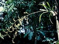 Oncidium baueri - pl