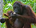 Orang Utan (Pongo pygmaeus) female with baby (8066235885).jpg