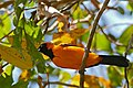 Orange-backed Troupial (Icterus croconotus) (30984139254).jpg