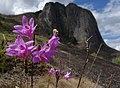 Orchid on Mount Ribaue (10200620525).jpg