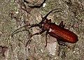 Orthosoma brunneum - Brown Prionid - (a long-horned beetle species) (48245003042).jpg