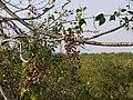 Otiyan-maram (Malayalam- ഒടിയന്മരം) (5496513604).jpg