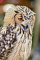 Owl (27239553966).jpg