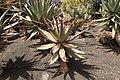 Pájara La Lajita - Oasis Park - Aloe marlothii 02 ies.jpg