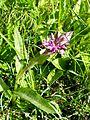 PR Vresova stran 011 Dactylorhiza majalis.jpg