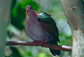 Pacific Emerald Dove (Chalcophaps longirostris), Kuranda Birdworld, Qld.jpg