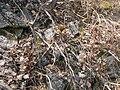 Paeonia anomala L. IMG 3203.jpg