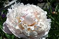 Paeonia lactiflora Le Cygne 1zz.jpg