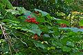 Pagoda Plant (Clerodendrum paniculatum) (22781014597).jpg