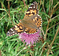 Painted Lady (Vanessa cardui) on Knapweed - geograph.org.uk - 1433338.jpg
