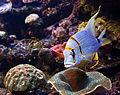 Palma Aquarium-Pez pirata.jpg