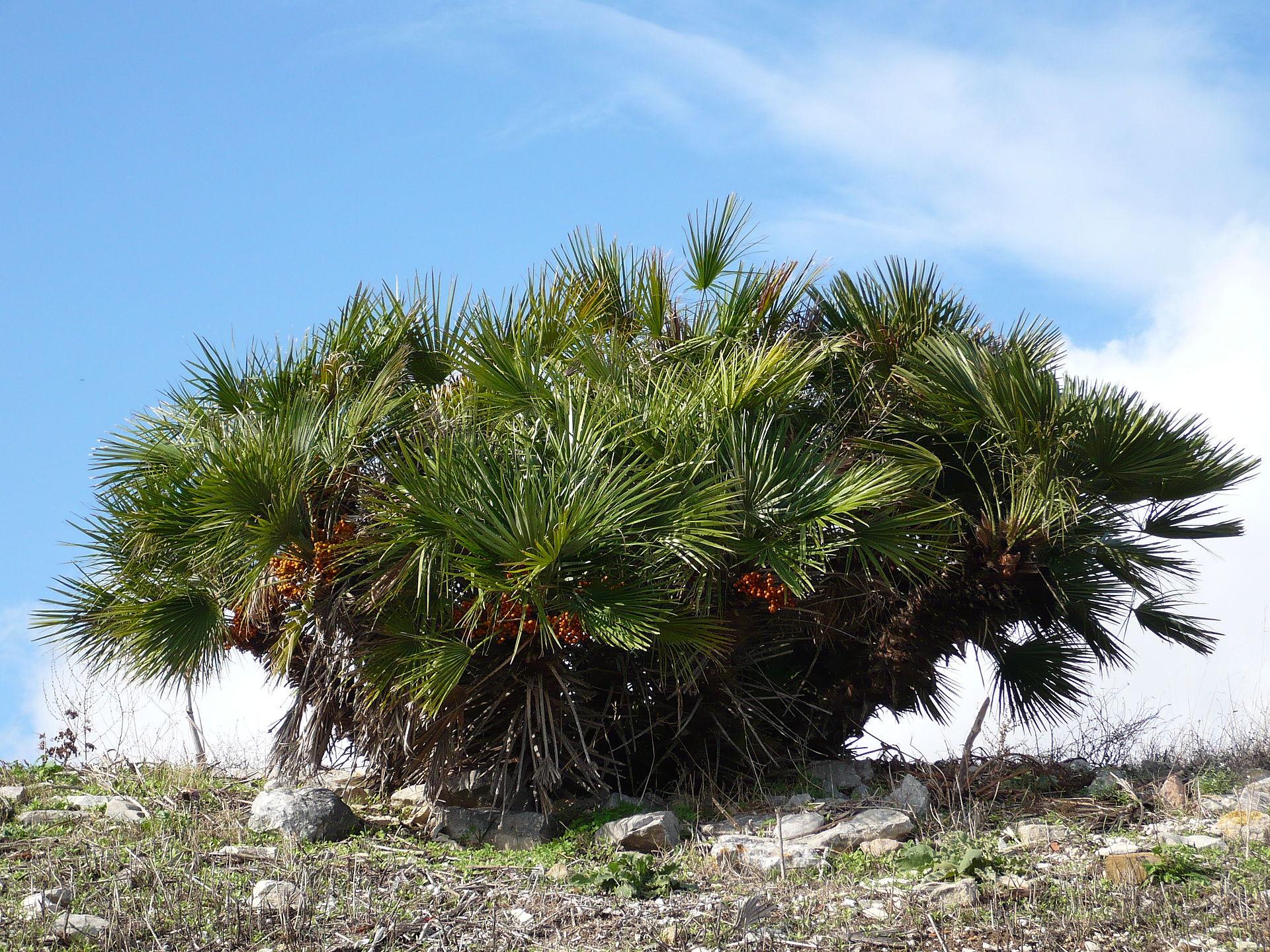 Chamaerops Humilis Wikimedia Commons