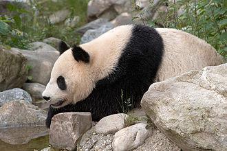 Tiergarten Schönbrunn - Giant panda in Vienna's Tiergarten Schönbrunn
