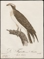 Pandion haliaëtus - 1800-1812 - Print - Iconographia Zoologica - Special Collections University of Amsterdam - UBA01 IZ18100267.tif