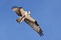 Pandion haliaetus -Grover Beach, California, USA-8.jpg