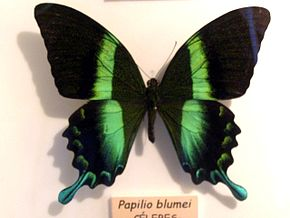 Description de l'image Papilio blumei.jpg.