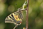 Papilio machaon 01.JPG
