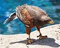 Parabuteo unicinctus -Vancouver Aquarium, British Columbia, Canada -adult-8a (1).jpg