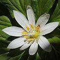 Paris japonica (flower).JPG