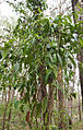 Parsonsia larcomensis 2.jpg