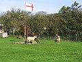 Patriotic sheep - geograph.org.uk - 272422.jpg