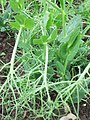 Pea plant - geograph.org.uk - 440116.jpg
