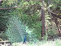Peacock.11.jpg