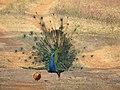 Peacock12.jpg