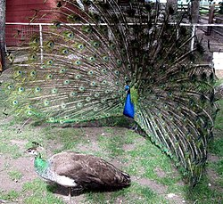 An Indian Blue Peacock (rear) courts a peahen (front)