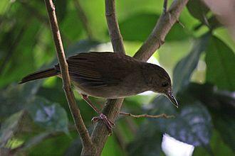 Sulawesi babbler - Image: Pelanduk sulawesi