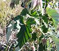 Pelargonium cordifolium (3).jpg