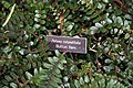 Pellaea rotundifolia 3zz.jpg