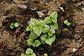 Peperomia pellucida 6963.jpg