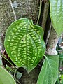 Pepper diseased leaves.jpg