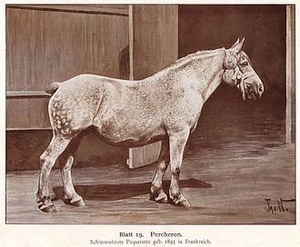 Percheron - A 1904 drawing of a Percheron