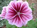 Perennial Geranium Flower - Relic38.JPG
